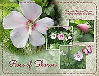 Rose-of-Sharon.jpg