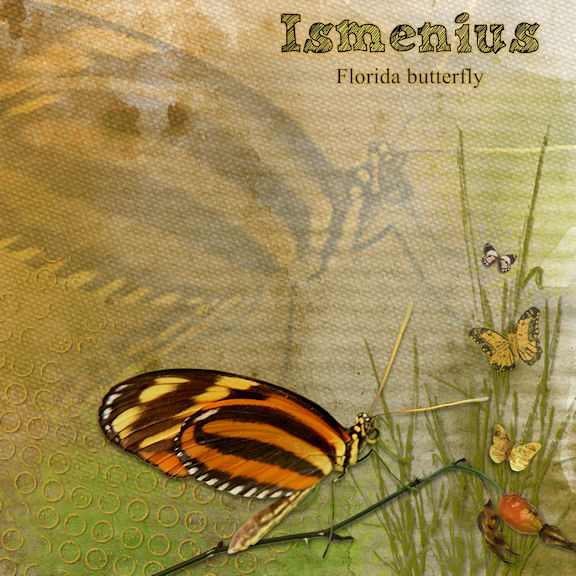 Ismenius Butterfly