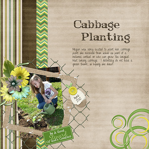 Cabbage Planting