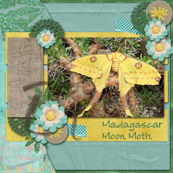 Madagascar Moon Moth