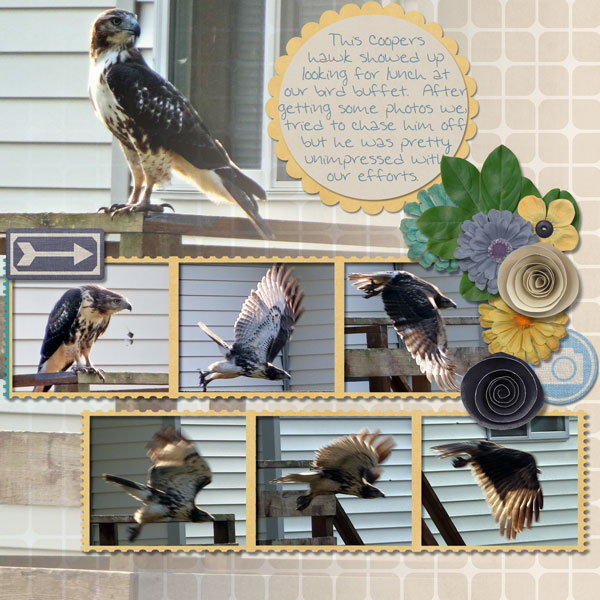 Coopers Hawk pg1