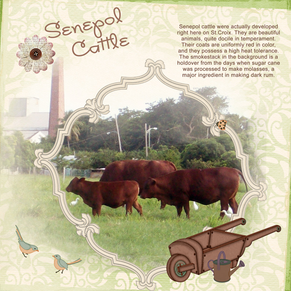 Senepol-Cattle-4web