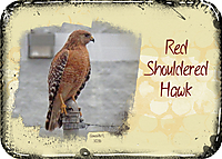 ATC-2016-17-Red-Shouldered-Hawk.jpg
