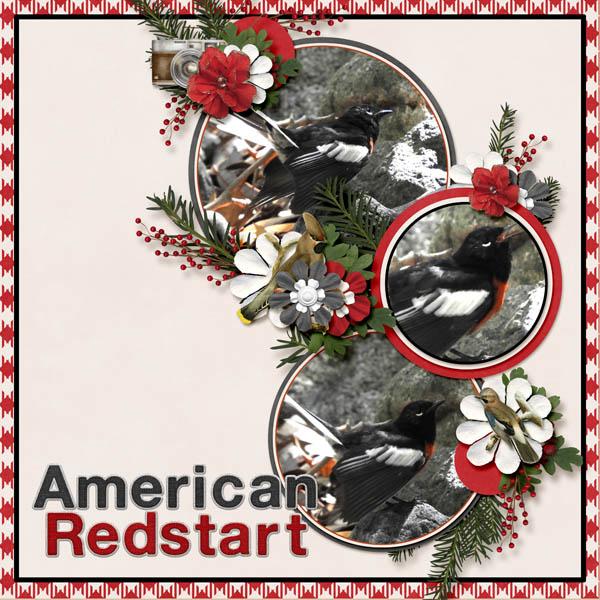 American_Redstart_Winter_Walk