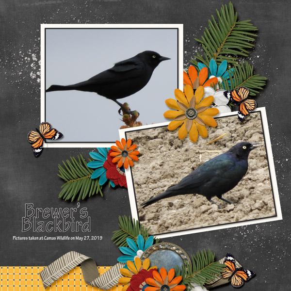 Brewer_s_Blackbird_Travelogue_Minnesots