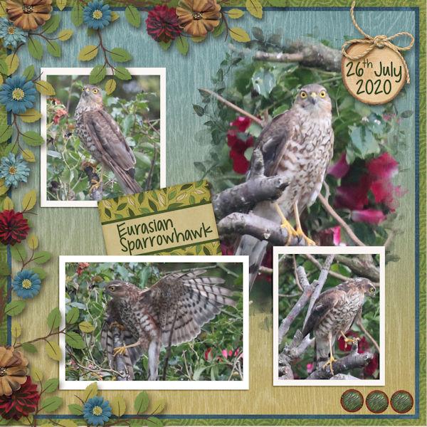 Sparrowhawk in the garden