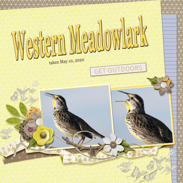 Western_Meadowlark_small1