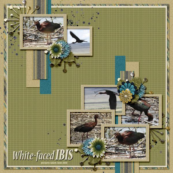 White-faced_Ibis_small