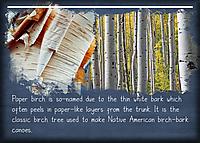 ATC-2020-027-Paper-Birch.jpg