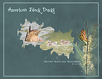 American-Black-Ducks.jpg