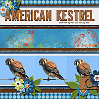 American_Kestrel_small_15.jpg