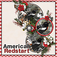 American_Redstart_Winter_Walk.jpg