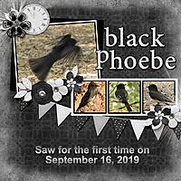 Black_Phoebe_small.jpg