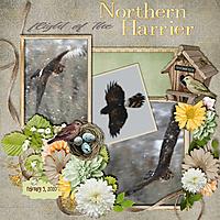Northern_Harrier_flight_small.jpg