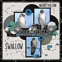 Northern_rough-winged_swallow_small.jpg