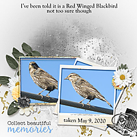 Red_winged_blackbird_small.jpg