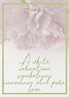 White-Carnation.jpg