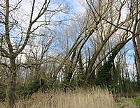bIMG_6865_tree_crooked_lean_sml.JPG