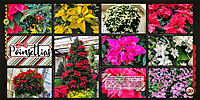 web_2018_December30_Longwood_poinsettia.jpg