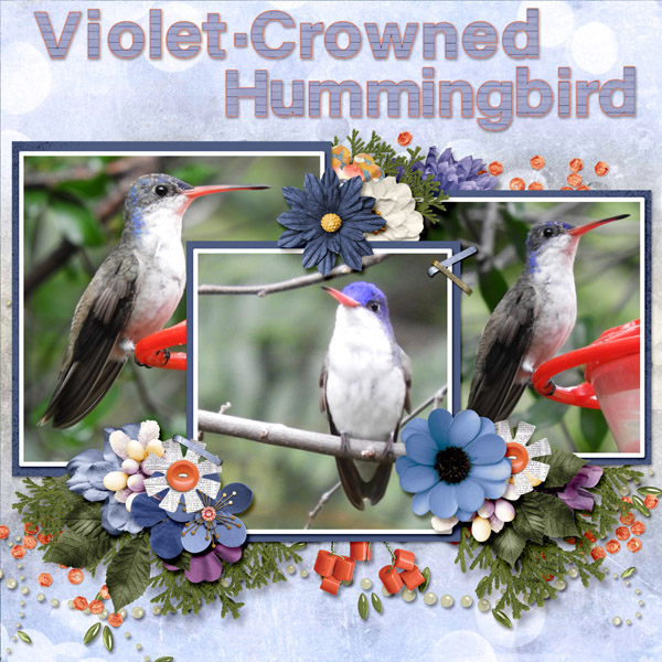 violet-crowned_hummingbird_small