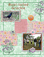 Boat-tailed-Grackle.jpg