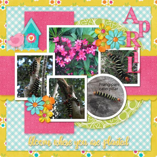 0417 Frangipani Caterpillars